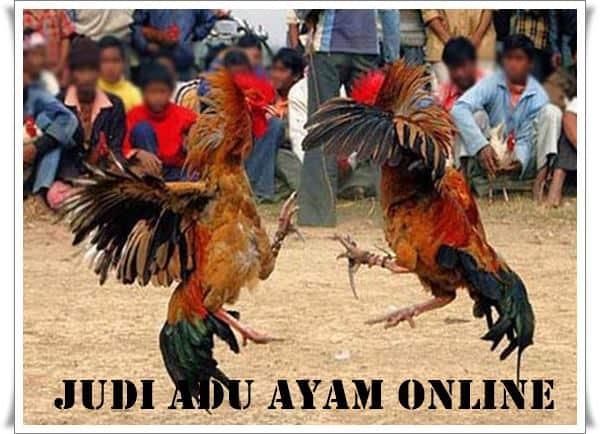 Judi Adu Ayam Online dan Cara Main Yang Benar